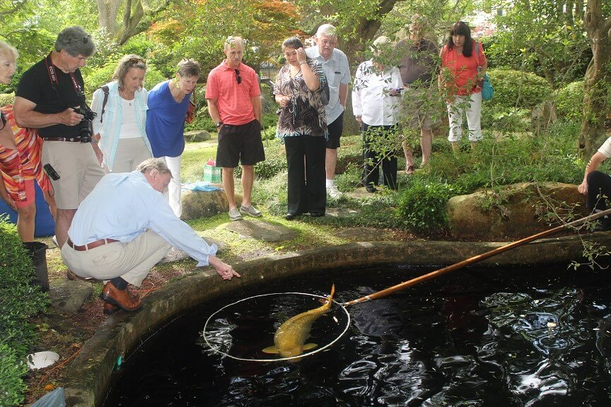 Showing Koi Fish